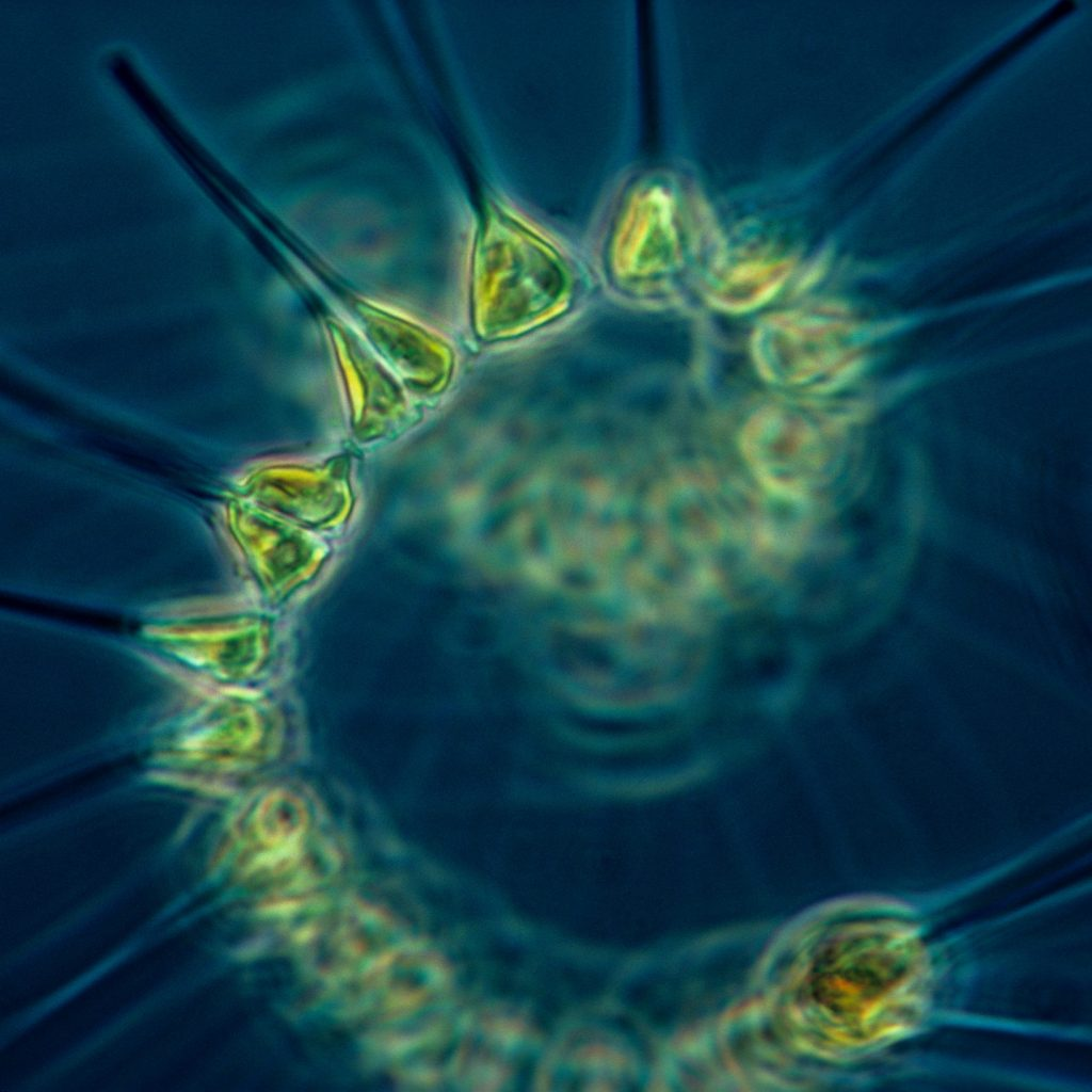 phytoplankton_-_the_foundation_of_the_oceanic_food_chain